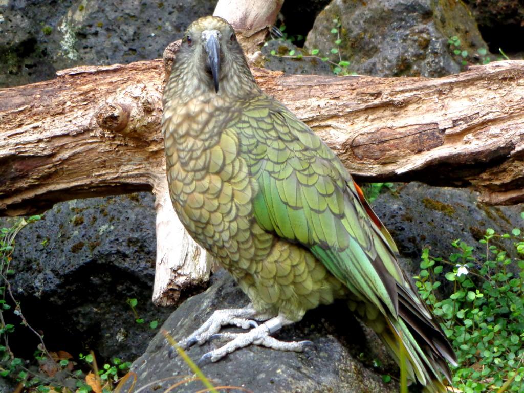 Зоопарк на Окланд, папагал Кеа