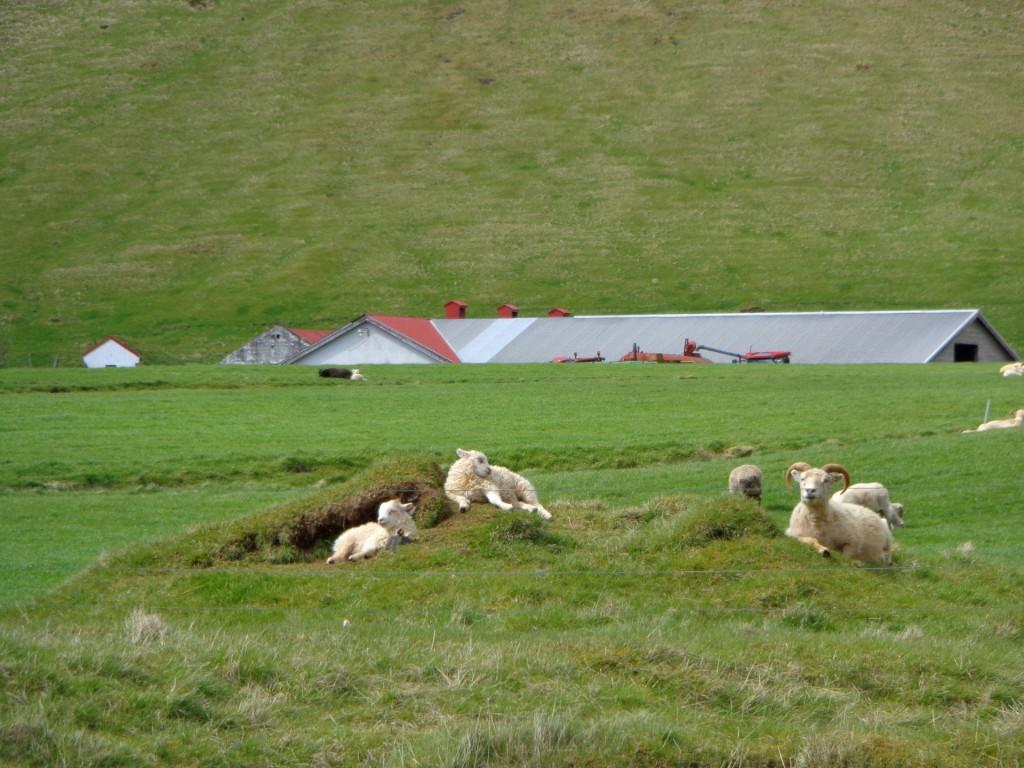 Овча исландска идилия