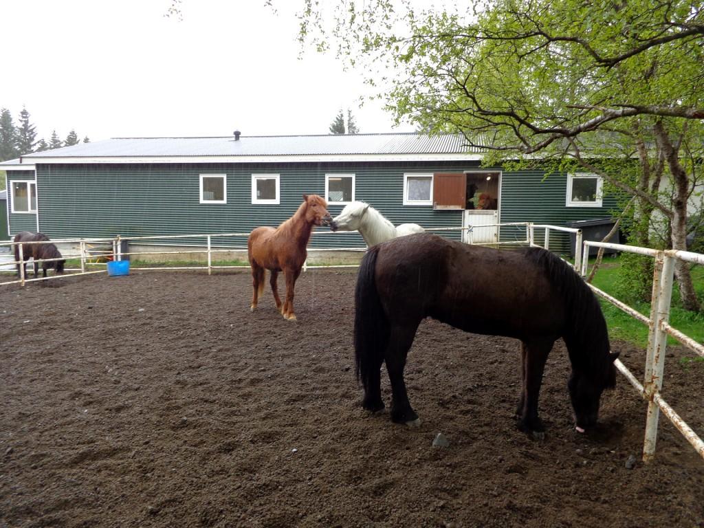 Прочутите исландски коне