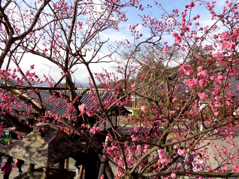 """Киото, японска сакура в будисткия храм """"Киумизу-дера"""", """"Храмът на чистата вода"""""""
