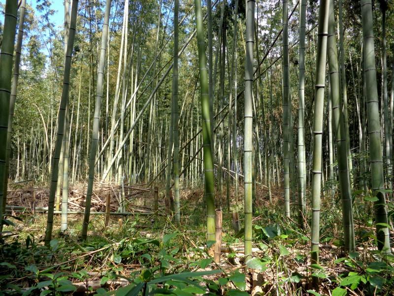 Бамбуковата гора Арашияма в Киото