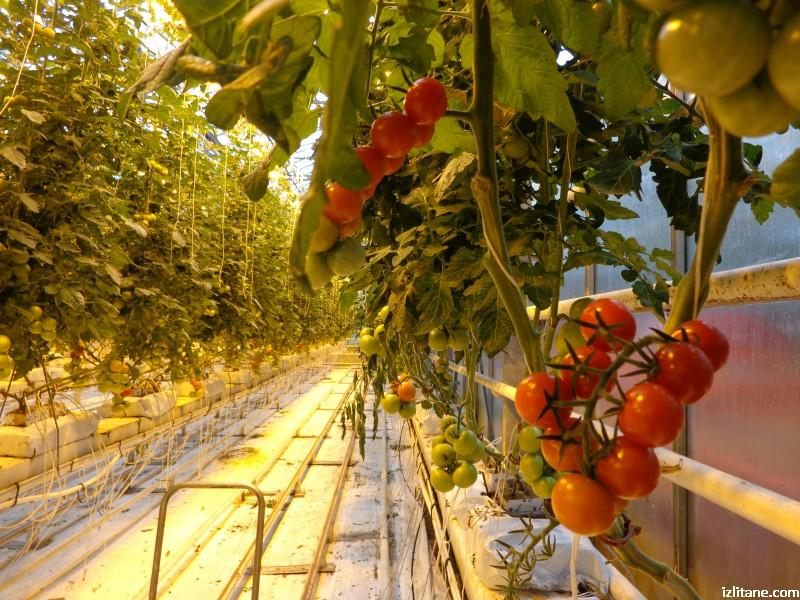 Всеки ден тази исландска ферма добива над 1 тон домати, растящи върху минерална вата