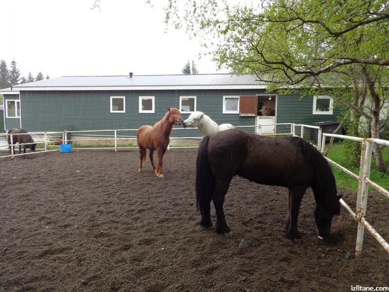 Викингите са покорявали нови земи именно на такива коне. Исландският кон има 5 вида ход.