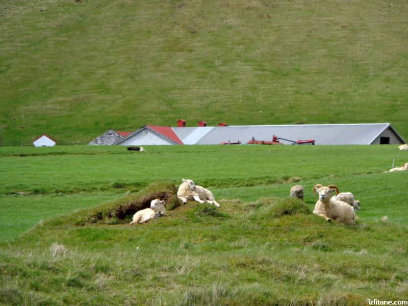 Овчи исландски кеф преди септемврийското заколение