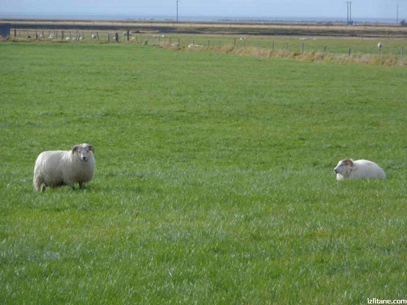 Овцата - исландската хранителка